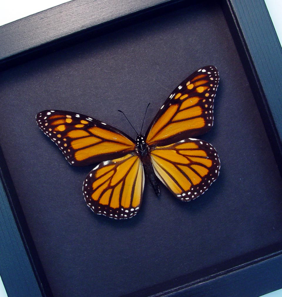 Real Framed Monarch Butterfly Moonlight Display