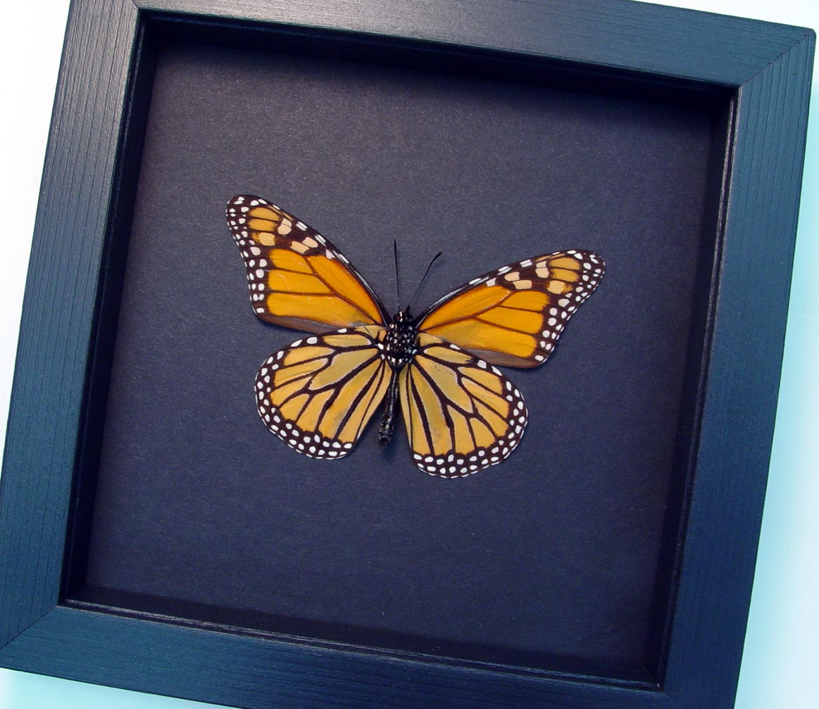 Framed Monarch Butterfly Danaus Plexippus female Moonlight Display