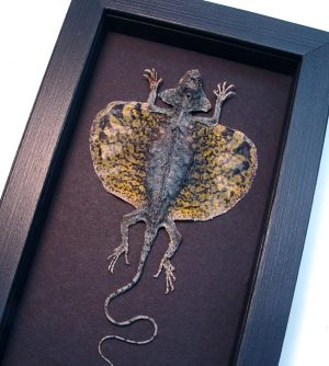 Draco volans Mottled Gold Flying Dragon Lizard Moonlight Display ooak