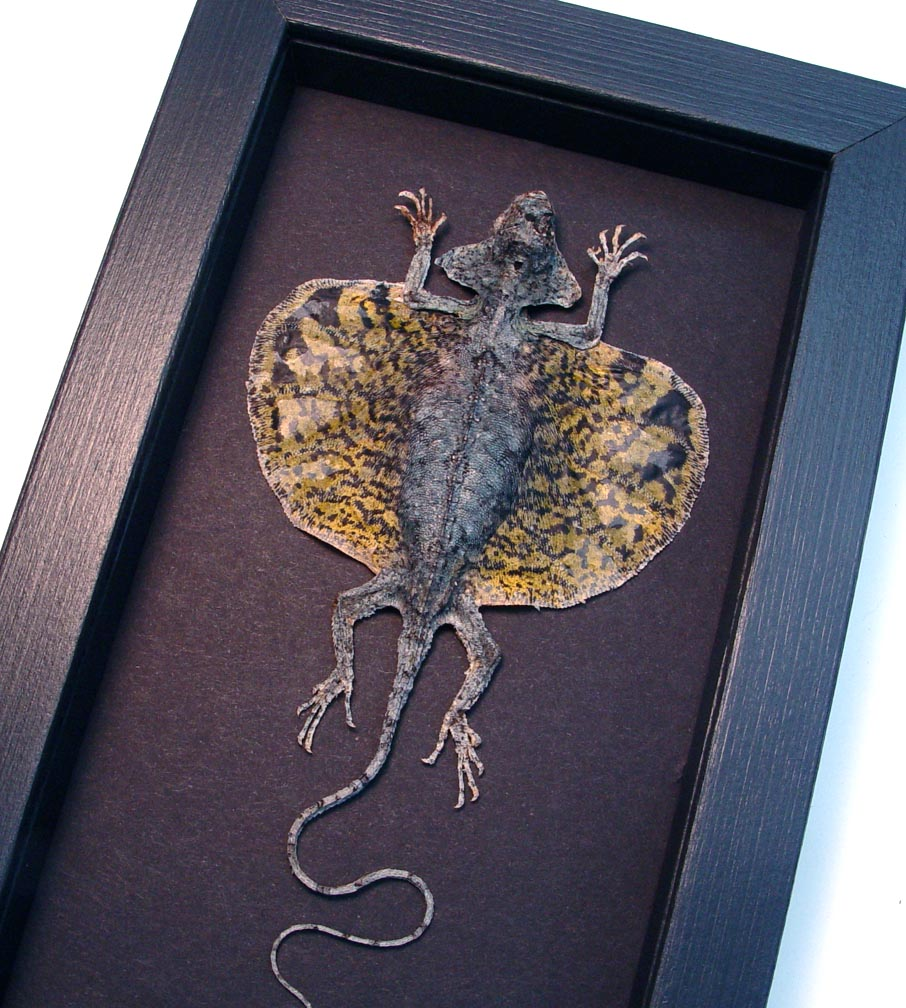 Draco volans Mottled Gold Flying Dragon Lizard Moonlight Display