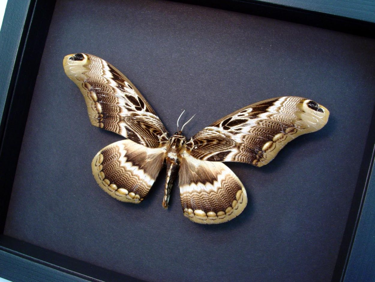 Dactyloceras lucina Drurys Owl Moth Moonlight Display ooak