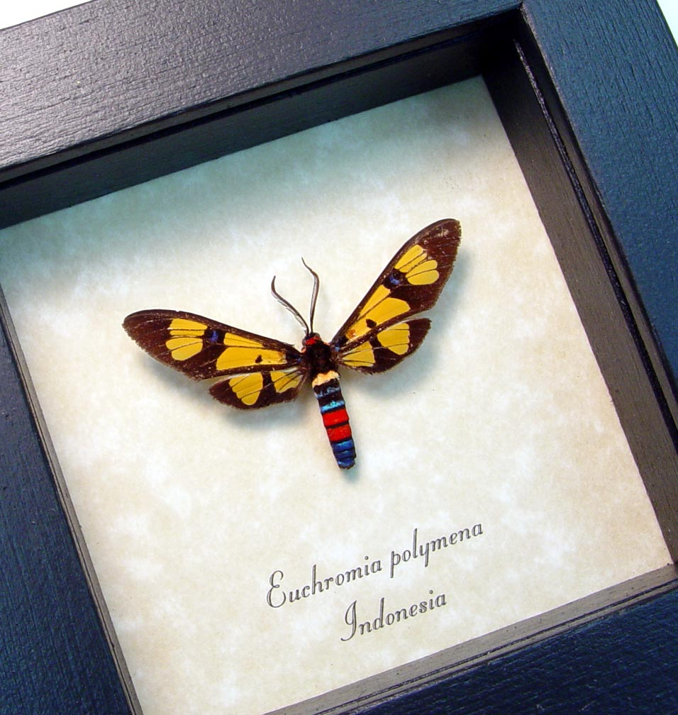 Euchromia polymena Wasp Mimic Moth