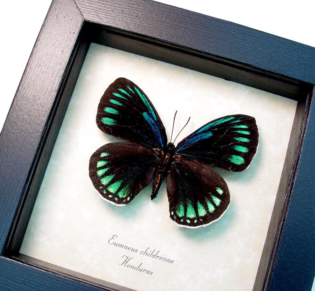 Eumaeus childrenae Female Blue Green Butterfly