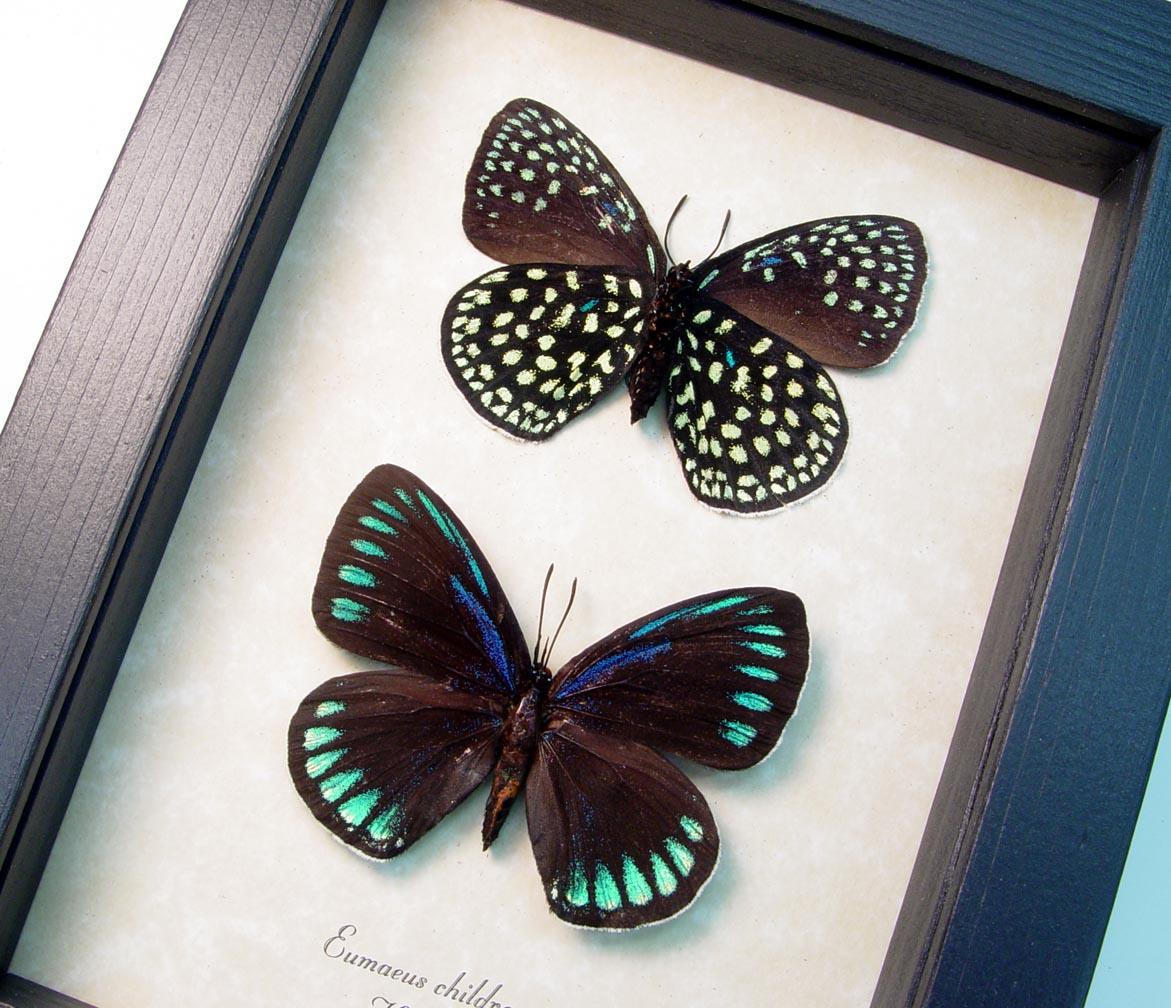 Eumaeus childrenae Set Green Blue Glittery Butterflies