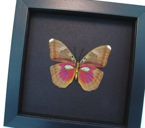 Euphaedra species Pink African Butterfly Moonlight Display ooak