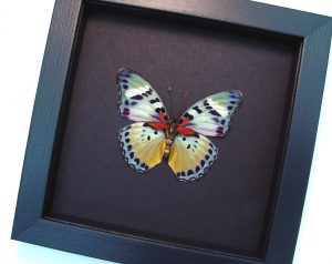 Euphaedra themis African Butterfly Moonlight Display ooak