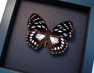 Euxanthe eurinome Common Forest Queen Butterfly Moonlight Display ooak