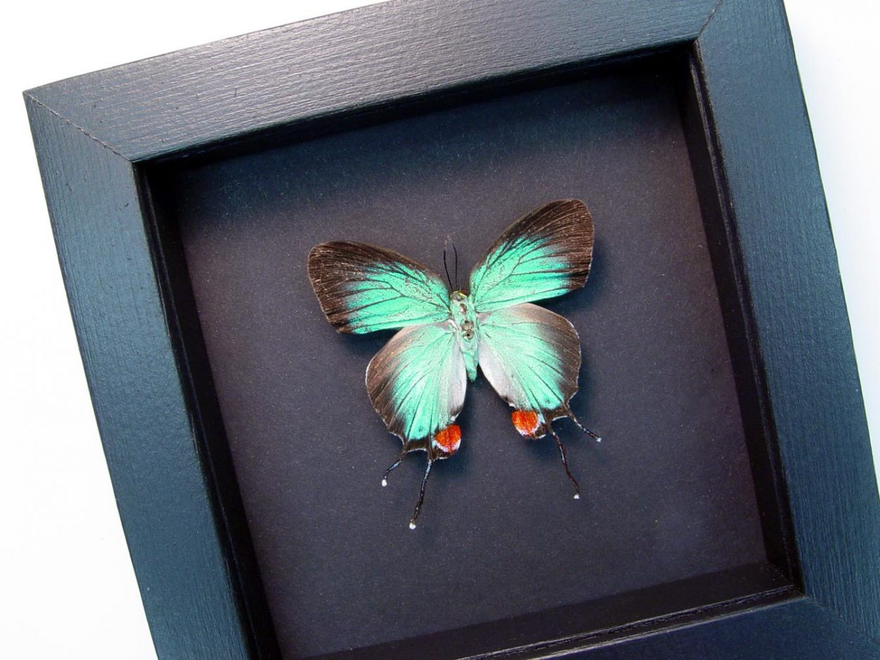 Evenus Regalis Female Regal Hairstreak Moonlight Display ooak