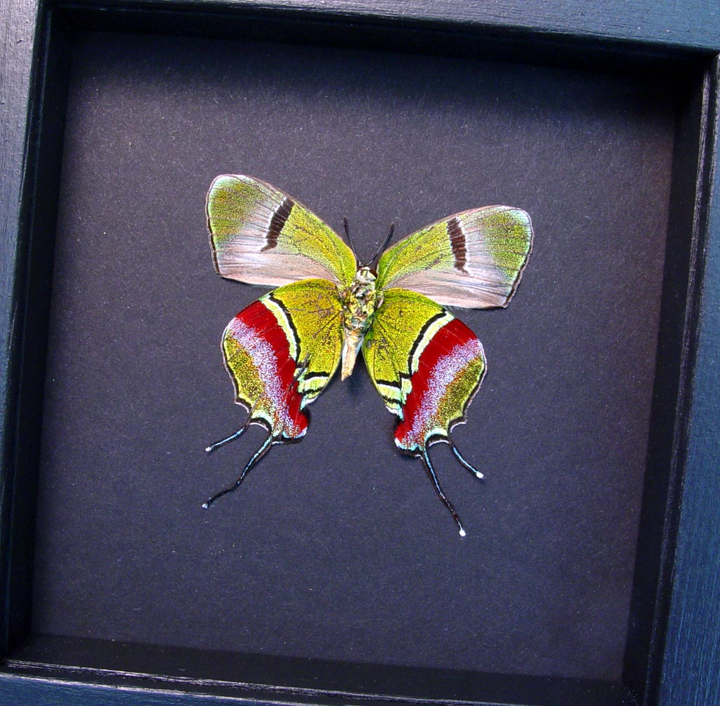 Evenus Regalis Verso Regal Hairstreak Moonlight Display ooak