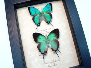 Evenus Regalis Pair Regal Hairstreak Framed Costa Rica Butterflies