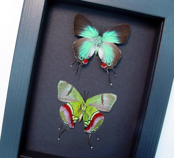 Evenus Regalis Pair Regal Hairstreak Butterflies Moonlight Display