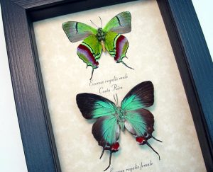 Evenus Regalis Pair Set Regal Hairstreak Framed Costa Rica Butterflies ooak