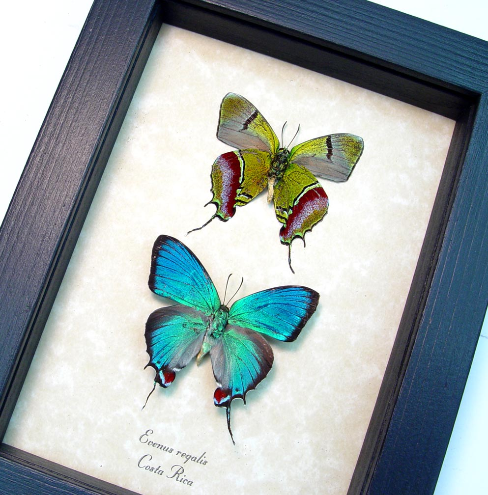 Evenus Regalis Set Regal Hairstreak Framed Costa Rica Butterflies ooak