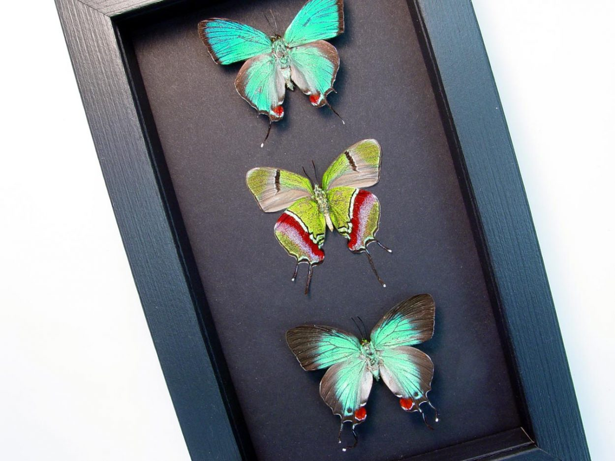 Evenus Regalis Trio Regal Hairstreak Butterflies Moonlight Display ooak