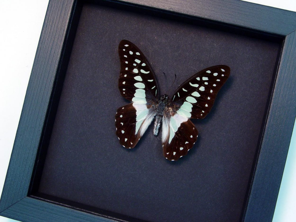 Meyeri's Triangle Blue Butterfly Moonlight Display OOAK