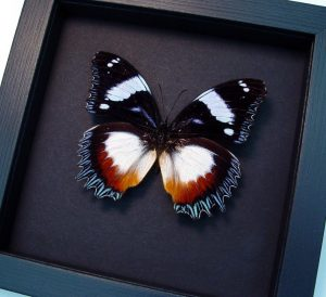 Hypolimnas dexithea Madagascar Diadem Butterfly Moonlight Display ooak