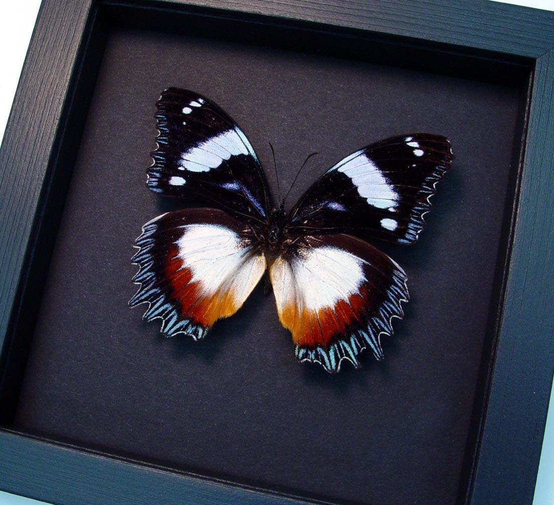 Hypolimnas dexithea Madagascar Diadem Butterfly Moonlight Display ooak