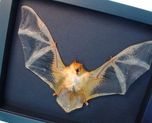 Orange Bat Kerivoula picta Painted Woolly Bat Moonlight Display ooak