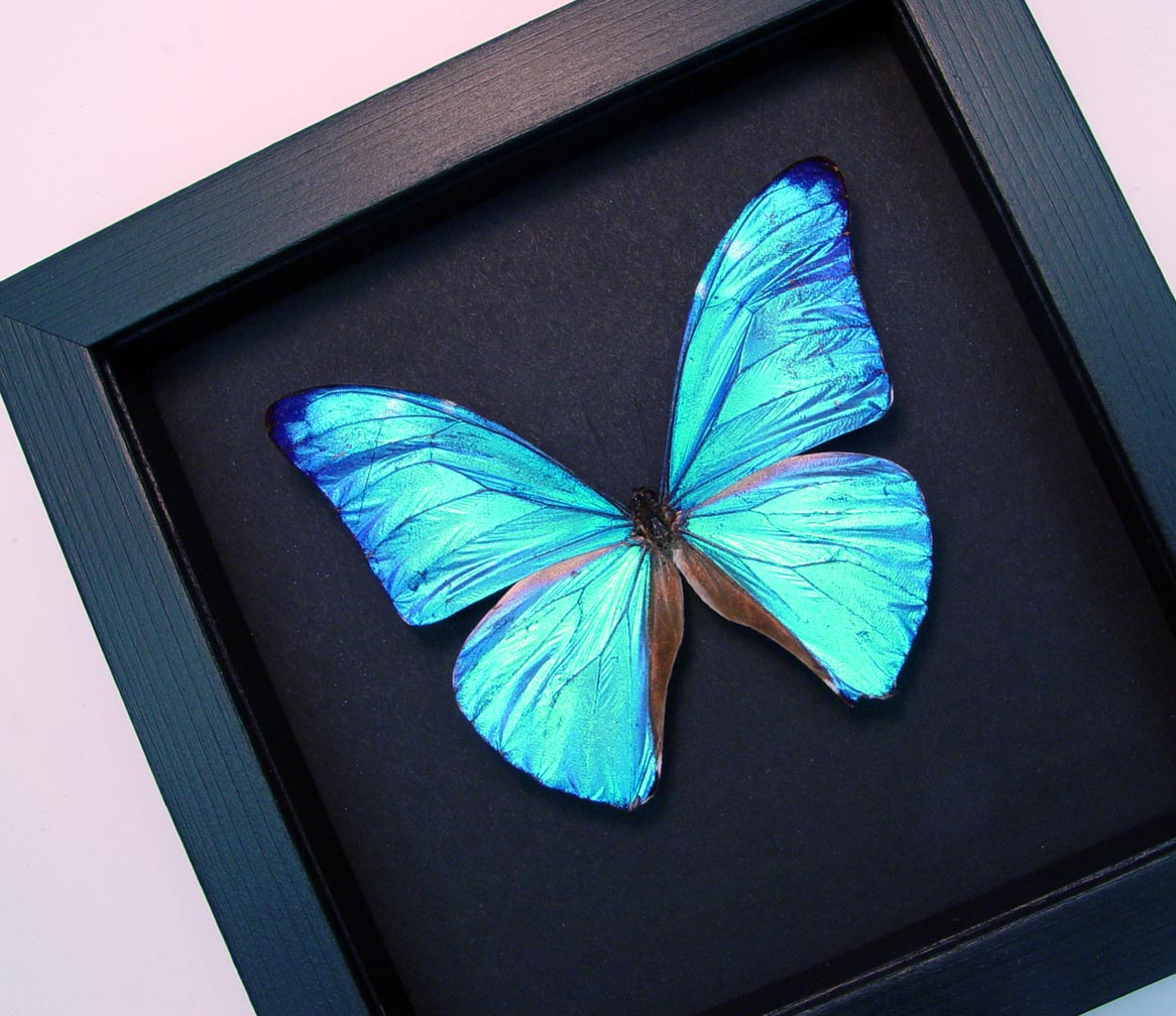 Blue Morpho Framed Butterfly Morpho Adonis Moonlight Display ooak