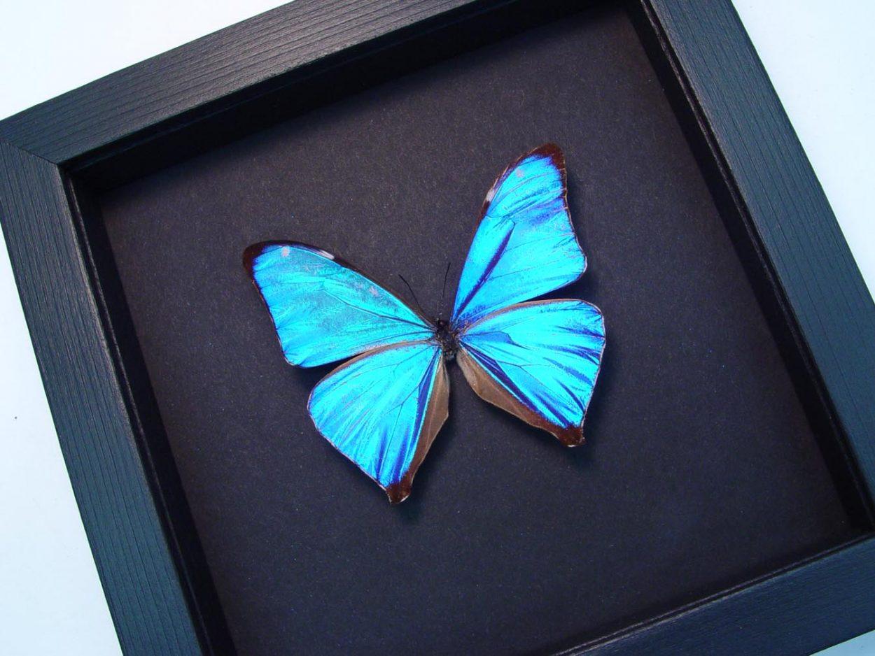 Morpho Aega Blue Morpho Framed Butterfly Moonlight Display ooak