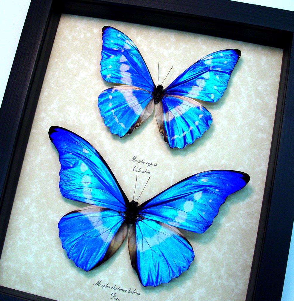 Framed Butterflies Blue Morpho Set ooak