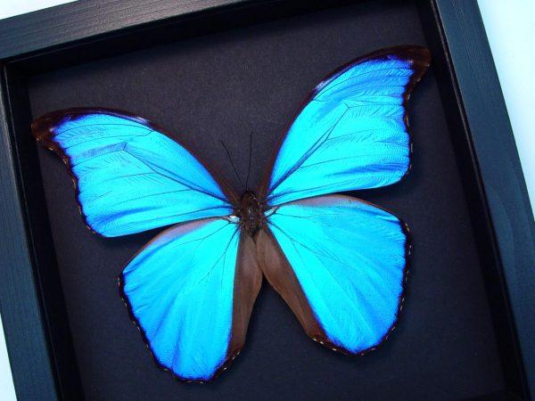 Morpho didius Giant Blue Morpho Moonlight Display ooak