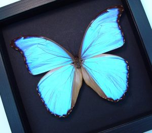 Morpho godarti Light Purple Framed Morpho Butterfly Moonlight Display ooak