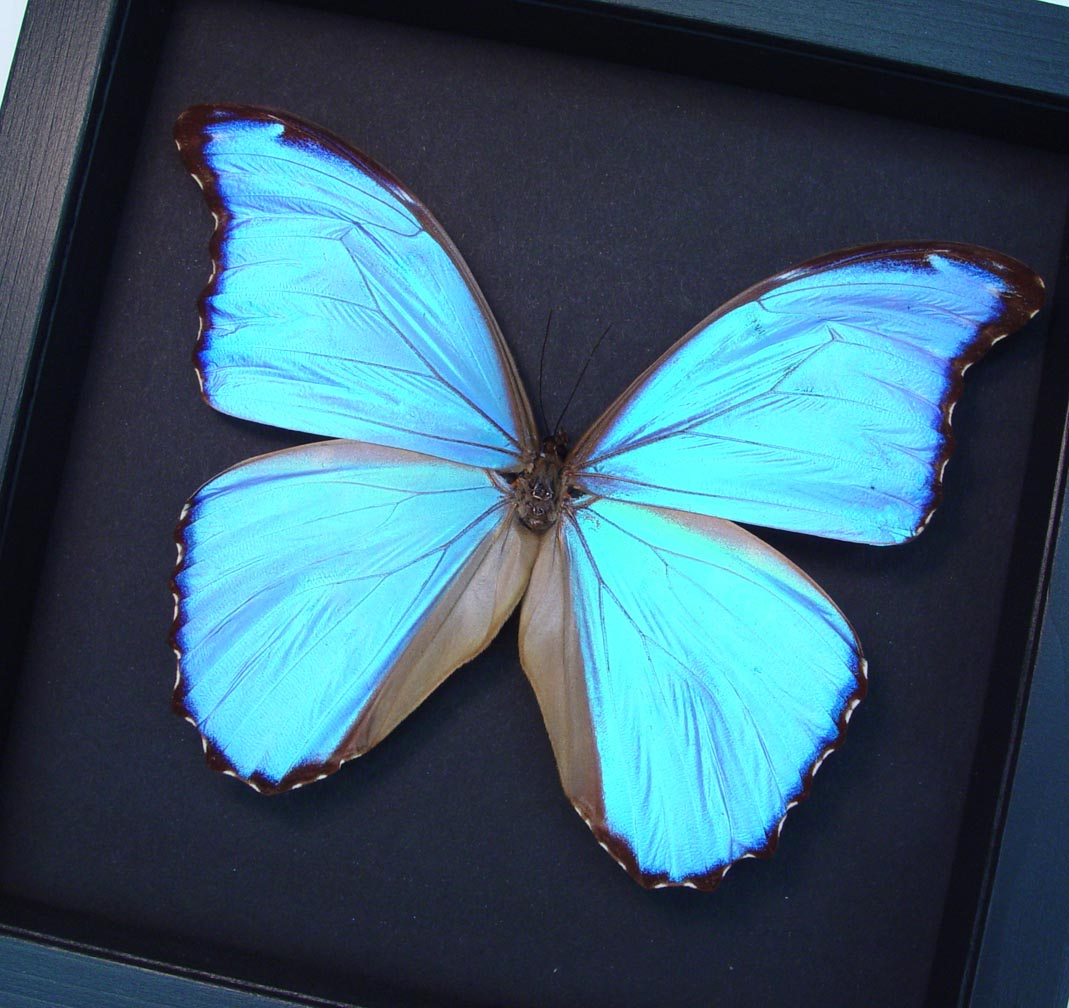 Mother's Day Gift Framed Morpho Butterfly Moonlight Display