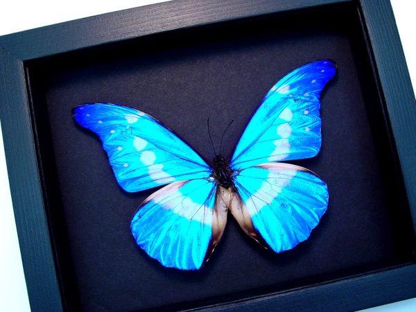 Framed Morpho Butterfly Morpho rhetenor helena Moonlight Display