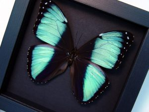 Morpho helenor Banded Blue Butterfly Moonlight Display ooak