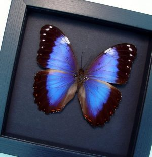 Morpho helenor violaceus Violet Butterfly Moonlight Display ooak