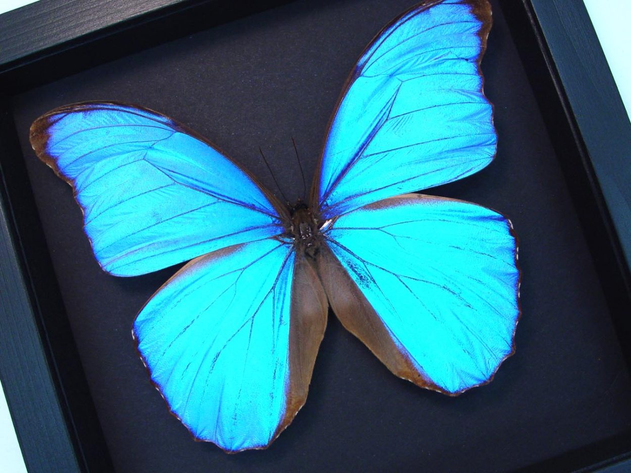 Framed Giant Blue Morpho Butterfly Moonlight Display