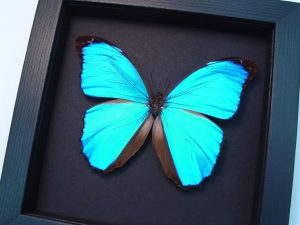 Morpho menelaus Blue Morpho Butterfly Moonlight Display ooak