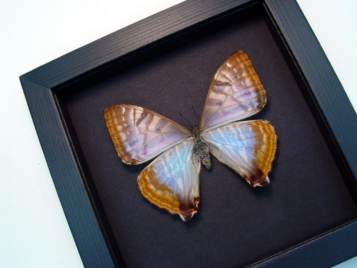 Morpho sulkowski Female Butterfly Mother Of Pearl Framed Butterfly Moonlight Display
