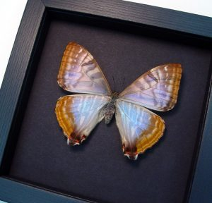 Morpho sulkowski Female Mother Of Pearl Butterfly Moonlight Display ooak