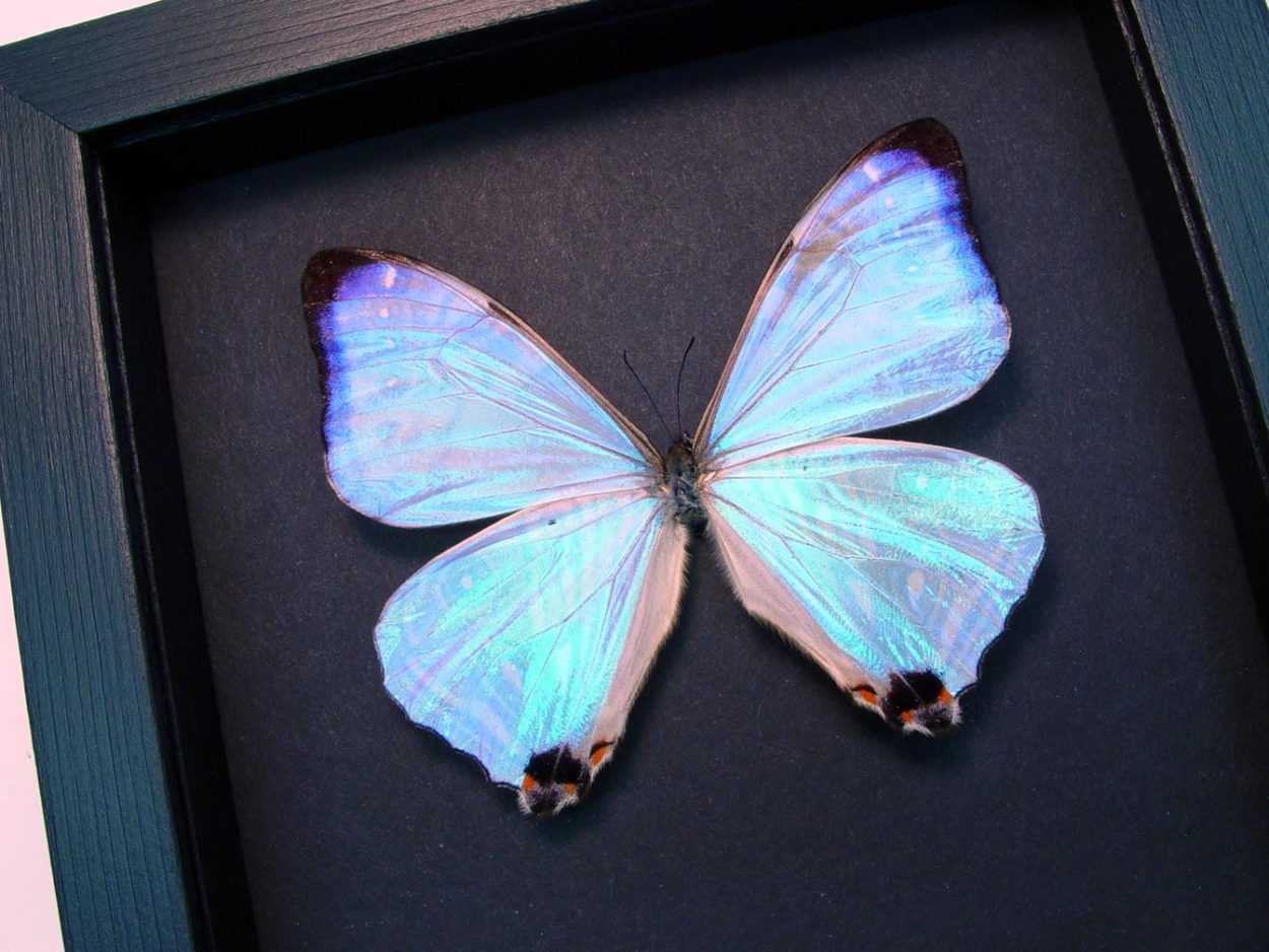 Framed Butterfly Morpho sulkowski Moonlight Display