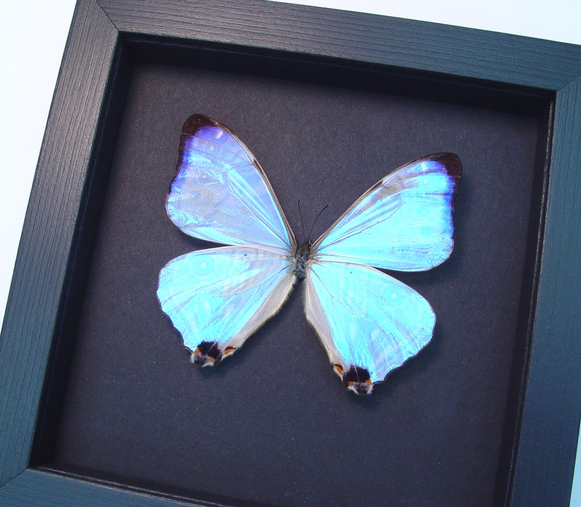 Mothers's Day Butterfly Mother Of Pearl Butterfly Moonlight Display