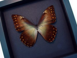 Morpho Telemachus foucheri Golden Morpho Moonlight Display ooak