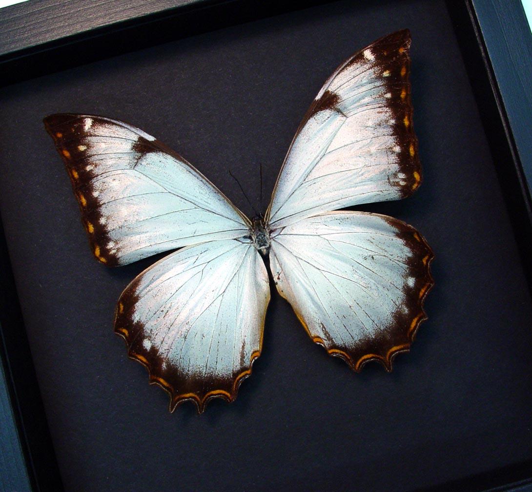 White Morpho Framed Butterfly Display Moonlight Display ooak