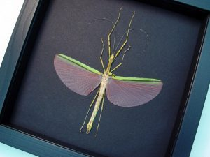 Necroscia annulipes Female Pink Walking Stick Insect Moonlight Display ooak