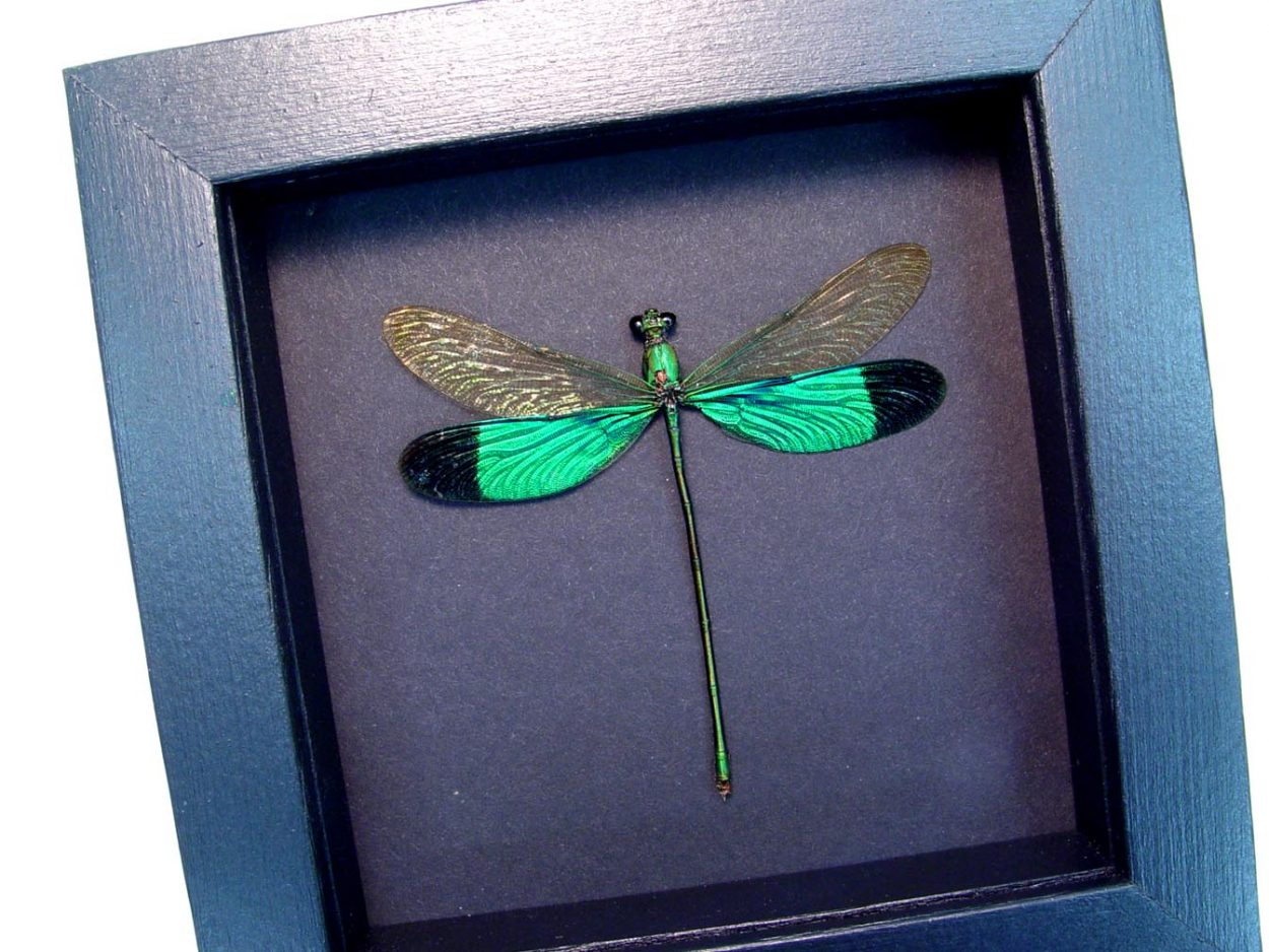 Neurobasis chinensis Emerald Green Damselfly Moonlight Display ooak