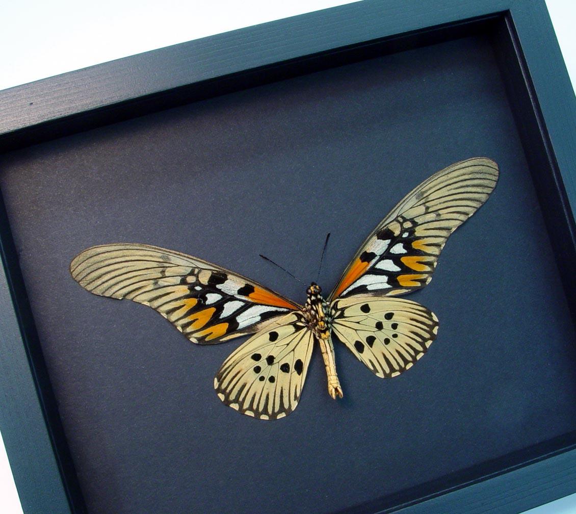 Papilio antimachus Verso World's Widest Wingspan Moonlight Display ooak