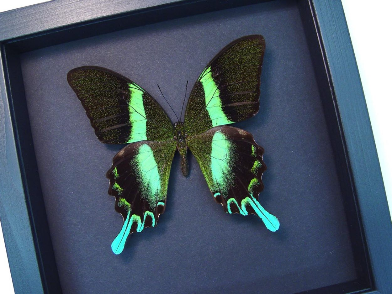 Framed Butterfly Papilio blumei Peacock Swallowtail Moonlight Display