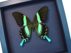 Framed Butterfly Papilio blumei Peacock Swallowtail Moonlight Display ooak