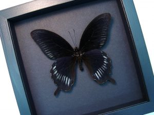 Papilio deiphobus Black Swallowtail Butterfly Moonlight Display ooak
