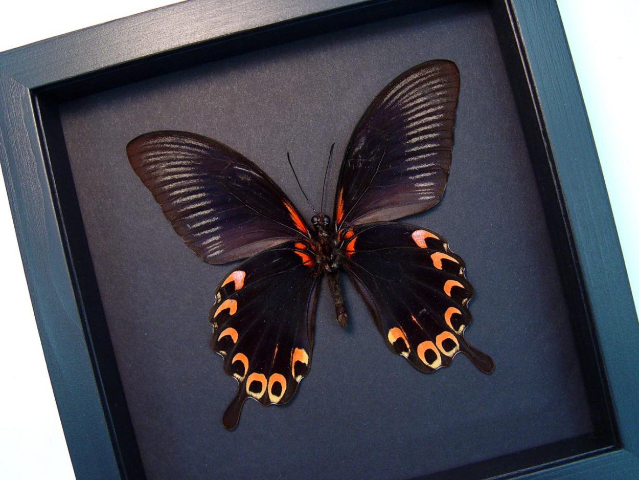 Papilio deiphobus verso Black Red Swallowtail Butterfly Moonlight Display ooak