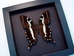 Papilio delalandei African Swallowtail Moonlight Display ooak