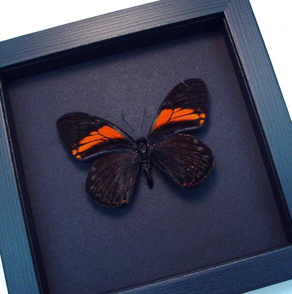 Papilio euterpinus Red Black Butterfly Moonlight Display ooak