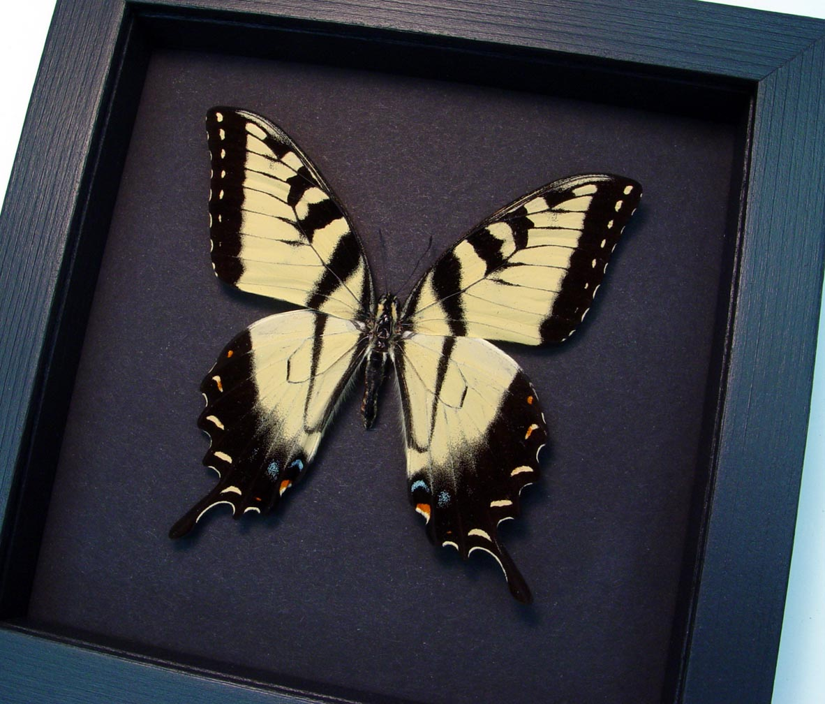 Papilio Glaucus Tiger Swallowtail Framed Butterfly Moonlight Display ooak