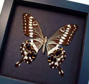 Papilio lormieri verso Central Emperor Swallowtail Butterfly Moonlight Display ooak